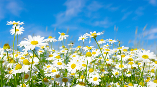White daisies are in a green field with a bright blue sky behind them