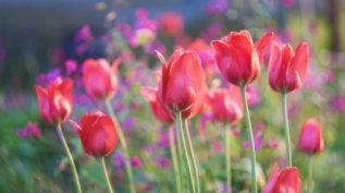 Beautiful red spring tulips flowers growing in garden