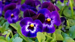 Purple Poppy Flowers